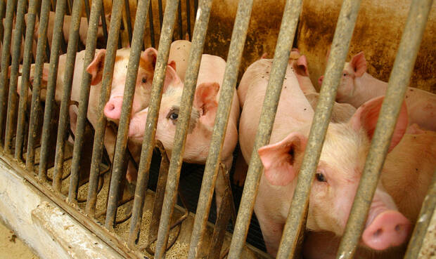 Schweine im Stall. © Ingram Publishing / Thinkstock
